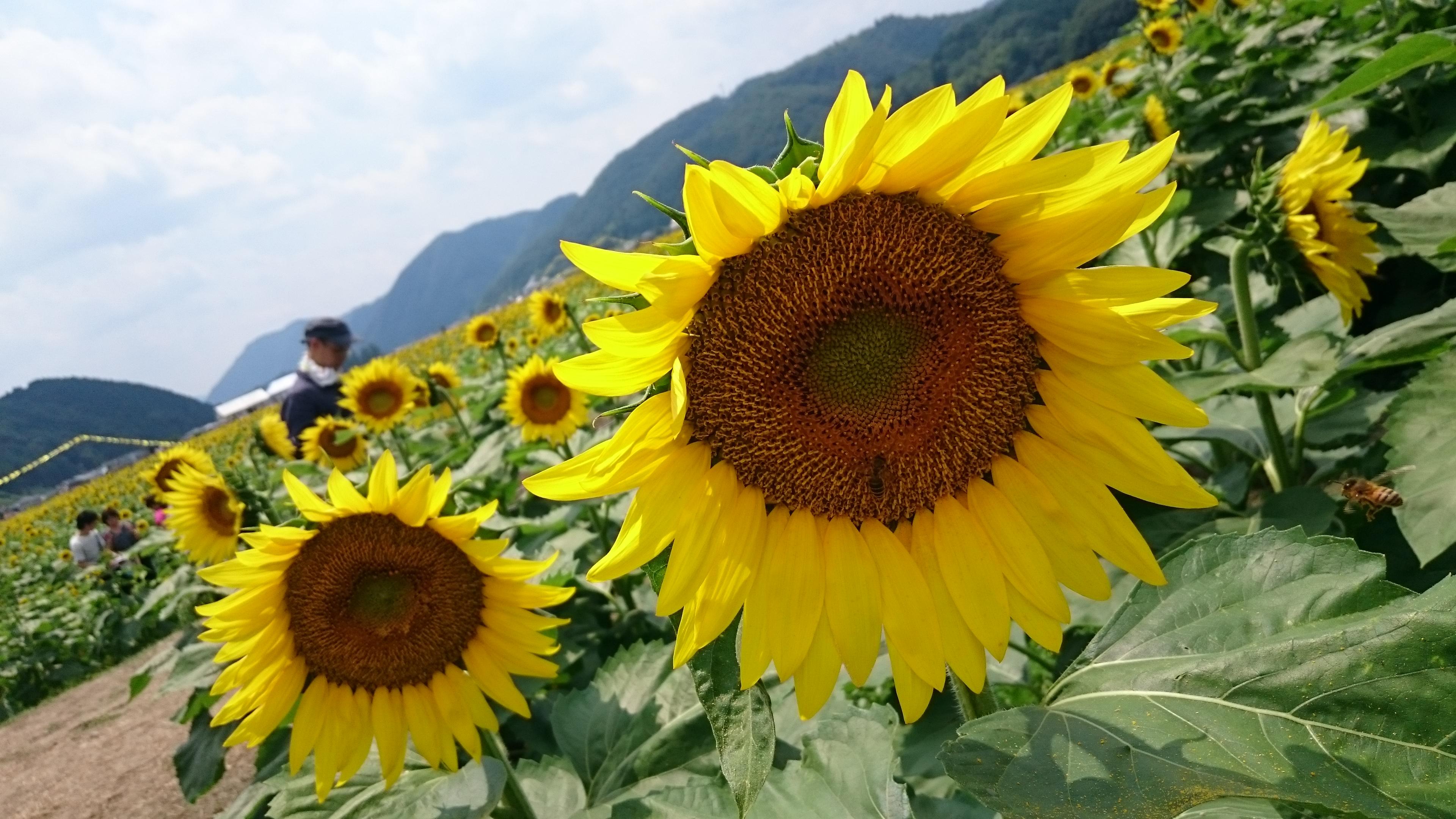 【佐用町南光ひまわり畑】本州最大規模のひまわり畑!営業時間やイベント情報